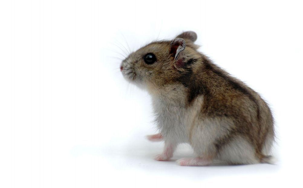 Un hamster centerblog - Hamster russe panda ...